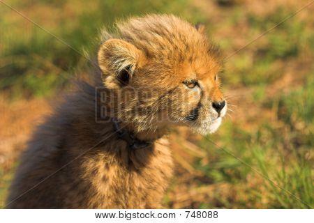 Staring cub