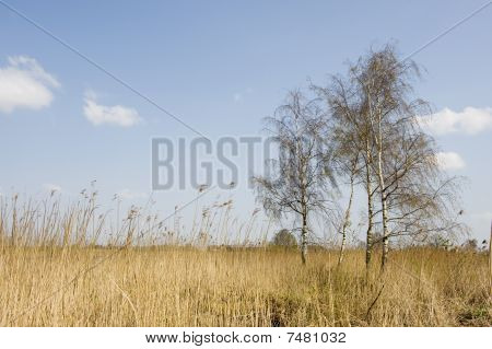 Birches In Landscape
