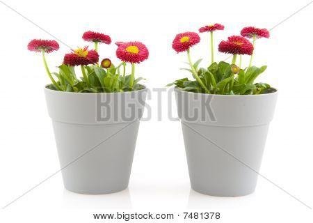 Bellis Flowers