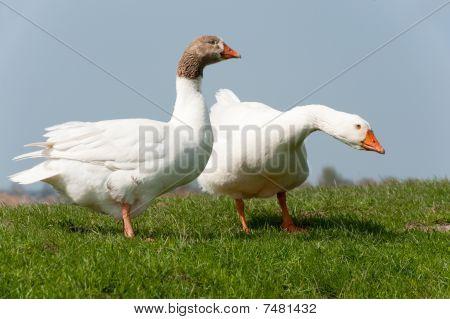 Gooses In Landscape