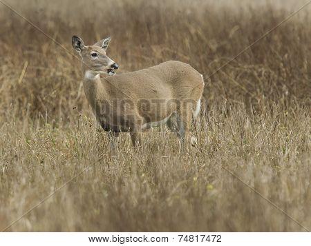 Deer In The Refuge.