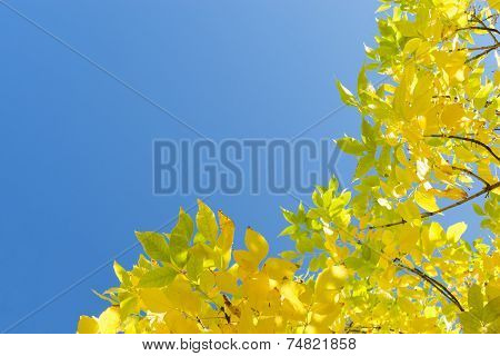 Golden Autumn Yellow Leaves Against Clear Blue Sky