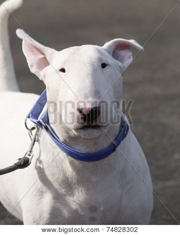 White bull terrier head shot