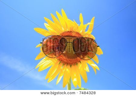 Sunflower with sunglass