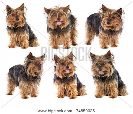 Photo Sequence of a nice dog yorkshire