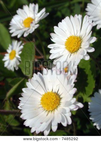 daisy06