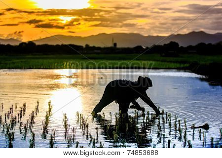 Silhouette Scene Of Thai Farmer Growing Young Rice In Field