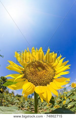 Sunflower field under sunlight