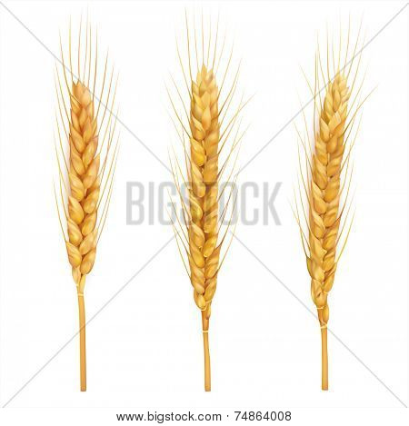 Wheat ears close up on white. Vector eps 10.