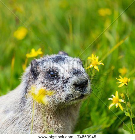 Marmots on meadow