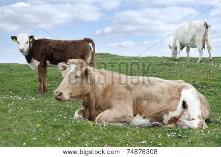 Irish Cattle Feeding On The Lush Green Grass