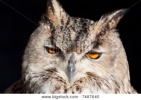 Royal Owl - Bubo Bubo