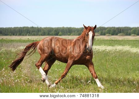 Chestnut Horse In Fright Running Away