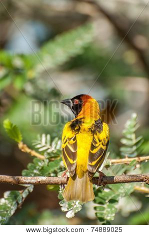 Masked Weaver Bird In Tree