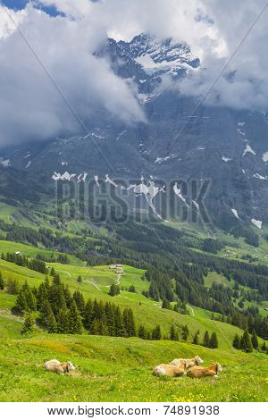 Grazing cow on a summer pasture with the background of swiss mountain cover with snow, Switzerland Interlaken - Lauterbrunnen Selective Focus