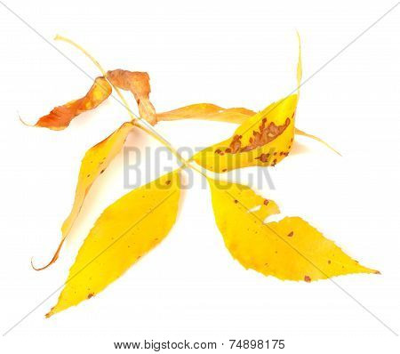 Dried Yellow Autumn Leaf