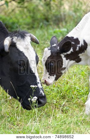 Cow and calf on the meadow