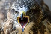 picture of common  - Portrait of Buteo buteo bird of prey commonly know as Common Buzzard.