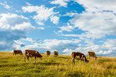 picture of herd  - Herd of cows grazing on summer field - JPG
