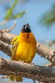 stock photo of sub-saharan  - A Weaver Bird in a branch with nice sunlight revealing the black mask on the face and the yellow to almost golden yellow feathers on the breast - JPG