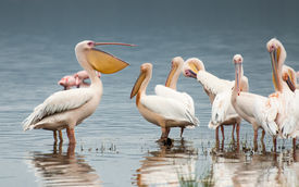 stock photo of flogging  - A Pelican at Lake Nakuru in Kenya with his bill slightly open while facing the other Pelicans. It looks like he is chatting casually to the other pelicans who are listening with half an ear. ** Note: Soft Focus at 100%, best at smaller sizes - JPG