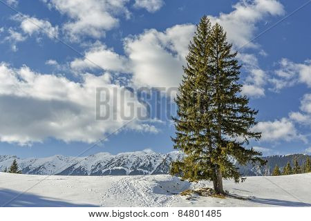 Solitary Fir Trees During Winter