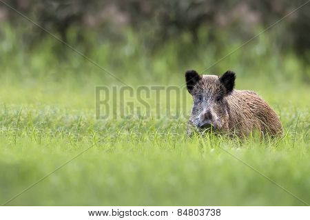 Wild boar in a clearing