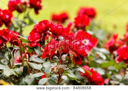 red roses in the park