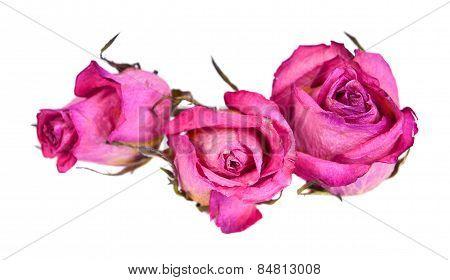 Dry Roses  Flowers