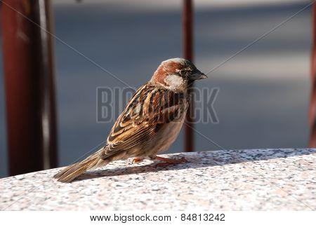 sparrow,bird