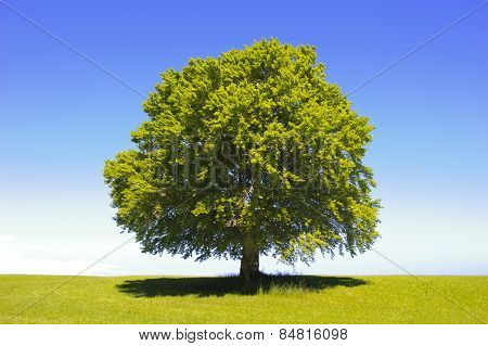 single big old beech tree