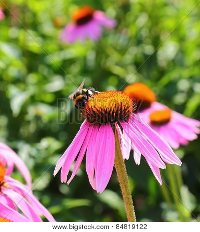 bumblebee collect nectar from the flowers of Echinacea purpurea