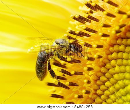 bee on the flower in the  sunflower