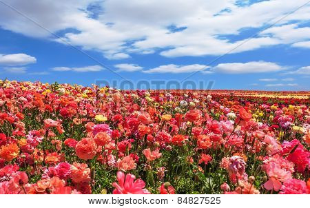 Picturesque field of the blossoming buttercups - ranunculus. Spring flowering garden large buttercups- ranunculus. Flowers are grown for export in the Nordic countries