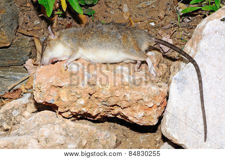 Dead rat on a rock.