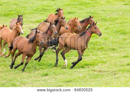 beautiful horse herd running on the field