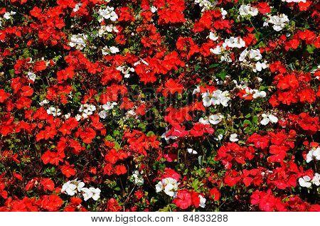 Begonias and Geraniums.