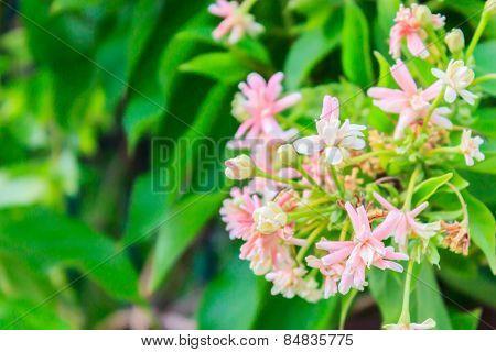Rangoon Creeper Flowers