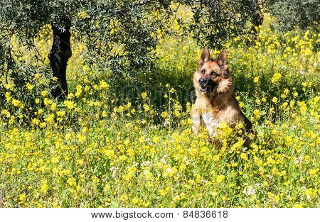 German Shepherd Wolfdog In The Fields
