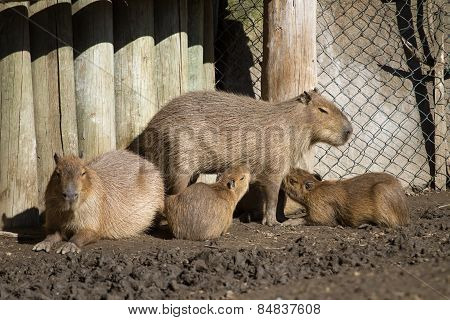 Capybara And Her Cubs
