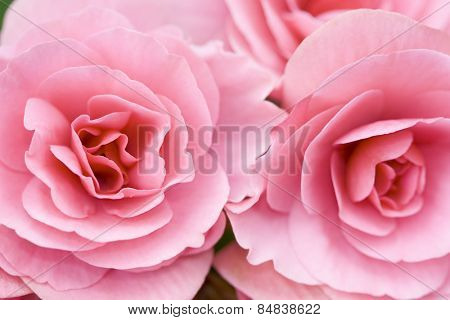 Close up view of two pink flowers