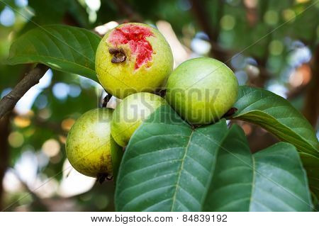 Bunch of red guava on tree in garden