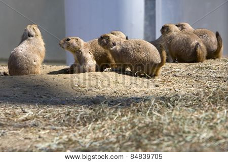 Prairie dogs looking out of their burrows