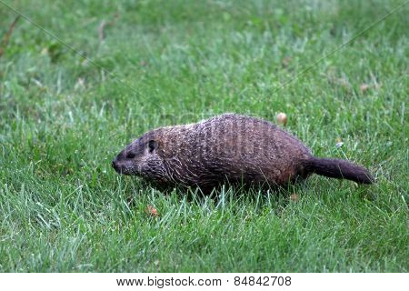Marmota monax groundhog in a field of green grass