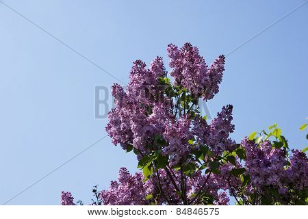 Purple Flowers On A Tree Lilacs Spring Season