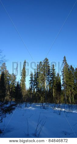 Sunny evergreen trees
