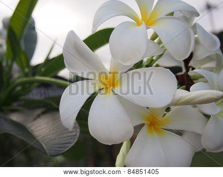 Blooming Plumeria Flowers