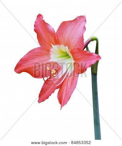 Orange Hippeastrum Flower