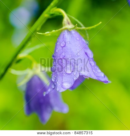 Beautiful Bluebell Flowers With Rain Drops On A Green Blur Background, Closeup