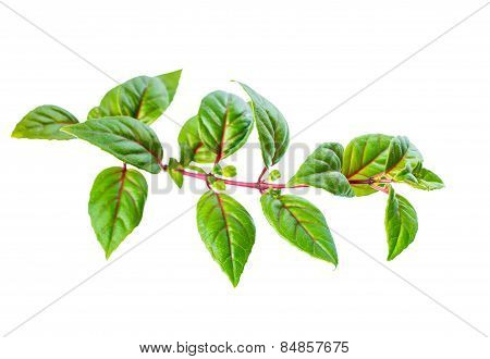 Green Twig Of Fuchsia With Red Vein  Is Isolated On White Background